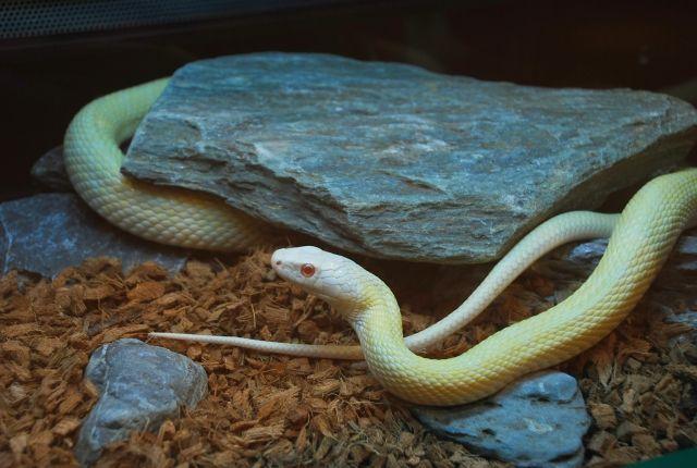 【白蛇】神戸の須佐之男神社で「白ヘビ」を発見!