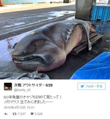 【南海トラフ】三重県で深海ザメ「メガマウス」が捕獲される…メガマウスが見つかると後日、必ず「巨大地震」が発生する法則