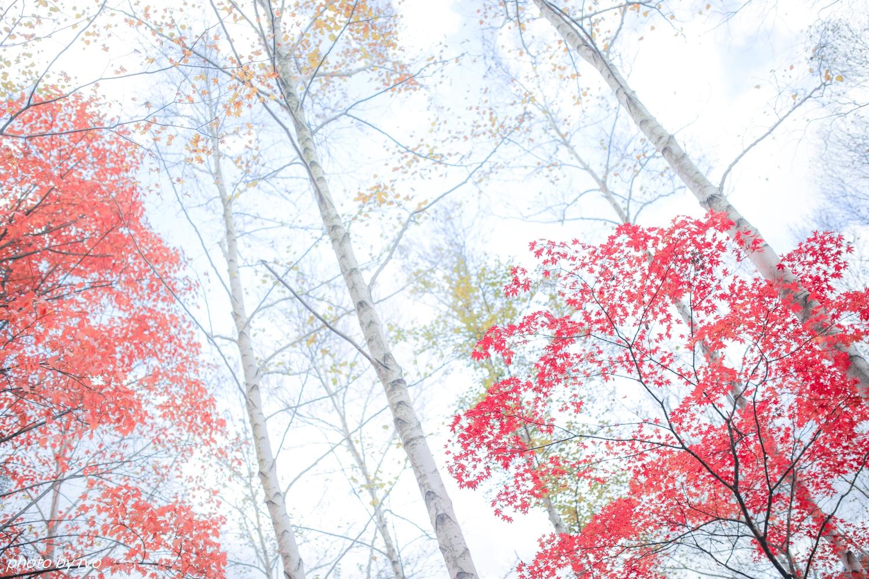 恋する白樺林_1