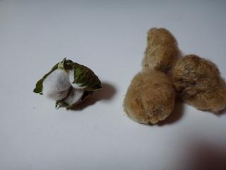 はじけた白綿。薄茶と比較。