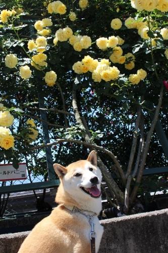 あたご薔薇園5