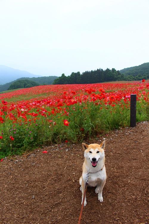 埼玉・天空を彩るポピー畑