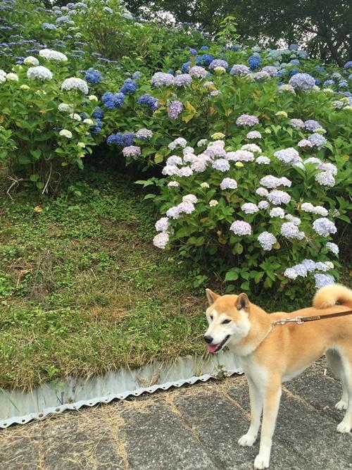 うつぶな公園の紫陽花