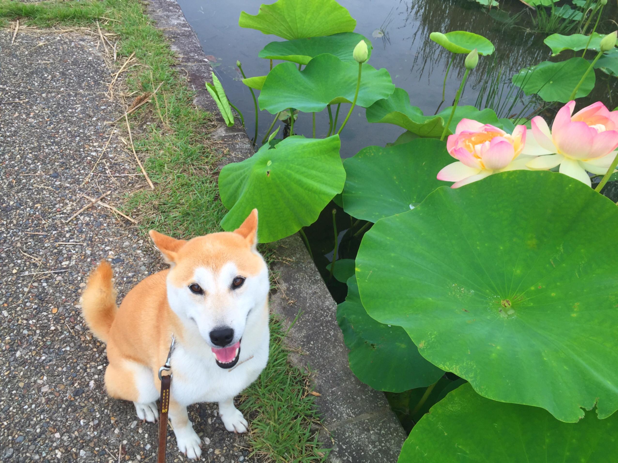 蓮の花と四葉のクローバー