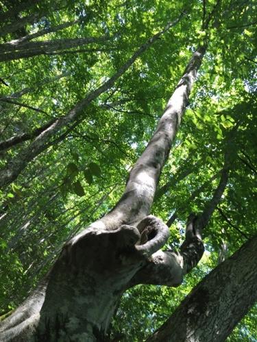 善五郎の滝27ブナの木
