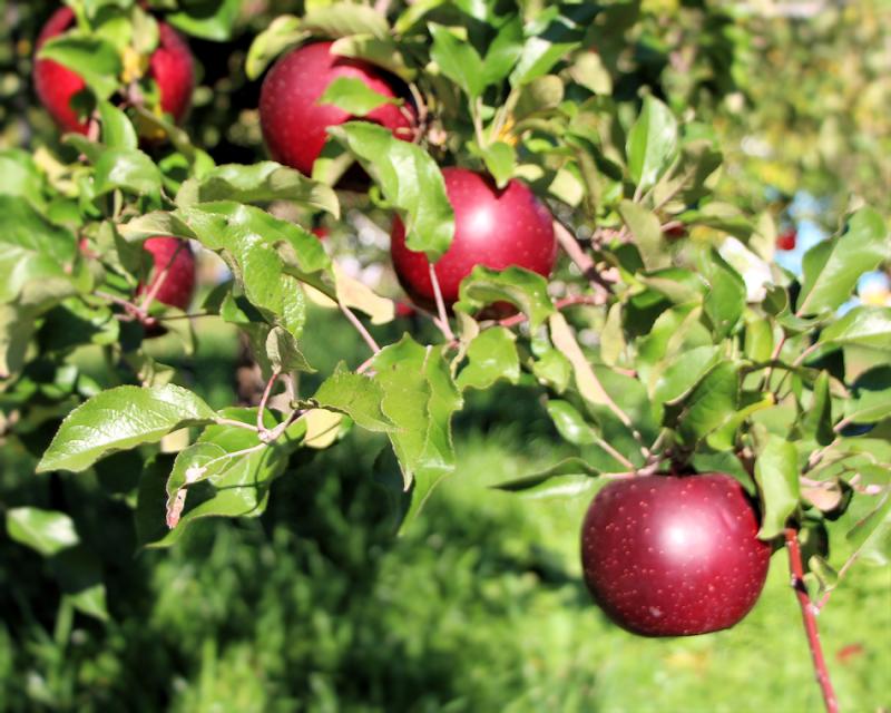 畠さんりんご