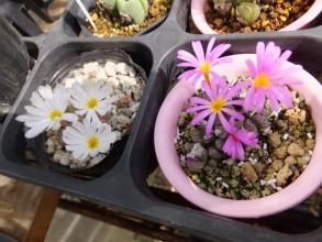 小型の模様入りコノフィツム、白花ペルシダム、ピンク花~2016.10.23