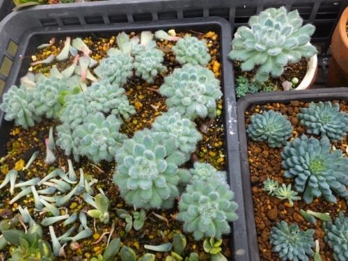 エケベリア・青い渚、ルンデリー、バラバラにして葉挿し木♪2016.10.31