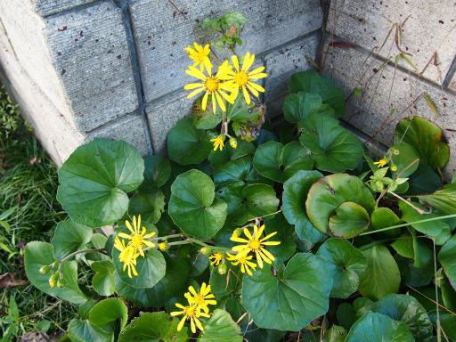 20161103・夕焼け狭山湖植物09・ツワブキ