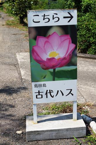 160722_07島田島古代蓮